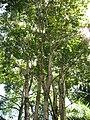Starr-110330-4123-Pterocarpus indicus-habit-Garden of Eden Keanae-Maui (25081275155).jpg
