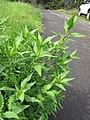 Starr-110502-5292-Dysphania ambrosioides-habit-Kula-Maui (25094173345).jpg