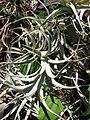 Starr-120522-5926-Tillandsia sp-habit-Iao Tropical Gardens of Maui-Maui (25116555796).jpg