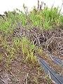 Starr-120620-7471-Cenchrus purpureus-local napier grass seedlings-Kula Agriculture Station-Maui (24515070044).jpg