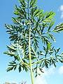 Starr-131216-2794-Daucus carota subsp sativus-leaves-Hawea Pl Olinda-Maui (25135319071).jpg