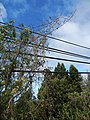 Starr-150108-3379-Caesalpinia decapetala-habit after control-Kekaulike Ave Kula-Maui (25171239371).jpg