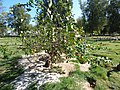 Starr-150326-0706-Citrus meyeri-fruiting habit-Citrus Grove Town Sand Island-Midway Atoll (24639952163).jpg
