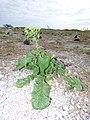 Starr-150403-0130-Brassica juncea-flowering habit-Southeast Eastern Island-Midway Atoll (25182486471).jpg