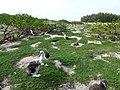 Starr-150403-0561-Coronopus didymus-with naupaka and Laysan Albatrosses-Rusty Bucket Sand Island-Midway Atoll (25184076631).jpg