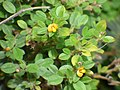 Starr-160926-0910-Stylosanthes viscosa-flowers leaves-Papanalahoa Honoapiilani Hwy 30 West Maui-Maui (31127138921).jpg