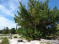 Starr-170628-0241-Juniperus bermudiana-large tree with Kim-Cable Company Buildings Sand Island-Midway Atoll (35621953134).jpg