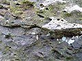 Starr-180421-0019-Thespesia populnea-Hyposmocoma burrito shape larva case on coastal rocks-Honolua Lipoa Point-Maui (43410195392).jpg