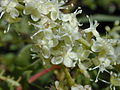 Starr 011025-0014 Anredera cordifolia.jpg