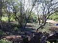 Starr 020103-0013 Pluchea indica.jpg