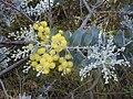 Starr 020911-0003 Acacia podalyriifolia.jpg