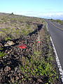Starr 031210-0223 Kalanchoe tubiflora.jpg