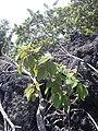 Starr 040131-0014 Pipturus albidus.jpg