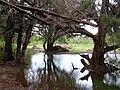 Starr 040323-0031 Casuarina equisetifolia.jpg