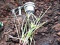 Starr 040513-0065 Unknown cyperaceae.jpg