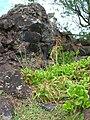 Starr 050315-5154 Cyperus phleoides.jpg