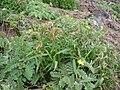 Starr 060228-8802 Setaria verticillata.jpg