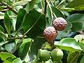 Starr 061106-1463 Calophyllum inophyllum.jpg