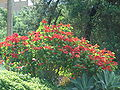 Starr 061201-1738 Euphorbia pulcherrima.jpg