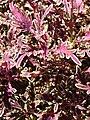 Starr 071024-0068 Solenostemon scutellarioides.jpg
