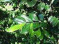 Starr 071024-0164 Murraya paniculata.jpg
