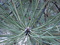 Starr 071226-0885 Pinus ponderosa.jpg