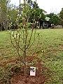 Starr 080302-3151 Prunus salicina.jpg