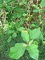 Starr 080601-5126 Solanum torvum.jpg