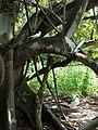 Starr 080608-7656 Ficus macrophylla.jpg