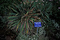 Starr 980602-4408 Yucca filamentosa.jpg