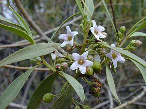 Myoporum - Naio (Myoporum sandwicense)