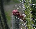 Stenocereus griseus from Margarita island.jpg