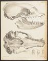 Stenorhynchus serridens - schedel - 1700-1880 - Print - Iconographia Zoologica - Special Collections University of Amsterdam - UBA01 IZ21100155.tif