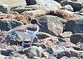Strandskata Oystercatcher (14519765822).jpg