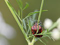 Streifenwanze (Graphosoma lineatum) (8744370002).jpg