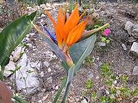 Strelitzia reginae from Kedumim 121.jpg