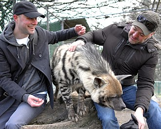 A tame striped hyena Striped hyena at Jungle Cat World 1.jpg