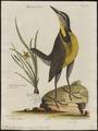 Sturnella ludoviciana - 1700-1880 - Print - Iconographia Zoologica - Special Collections University of Amsterdam - UBA01 IZ15800279.tif