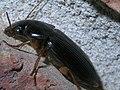 Subgenus Pseudoophonus P1330760a.jpg