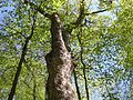 Sugar Maple (Acer saccharum) - Flickr - Jay Sturner.jpg