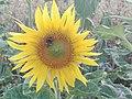 Sunflower Dortmund 8.jpg