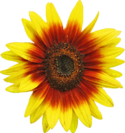 Sunflower d1.png