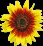 Sunflower d1.png