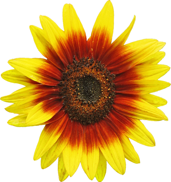 File:Sunflower d1.png