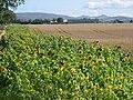 Sunflowers, Gogar. - geograph.org.uk - 45530.jpg