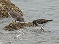 Surfbird and Black Turnstone RWD4.jpg
