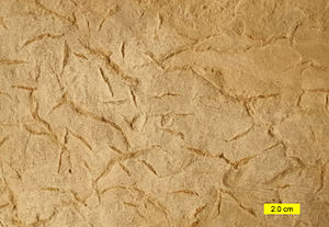 Syneresis crack - Syneresis cracks from the Drakes Formation (Upper Ordovician) of Adams County, Ohio, USA.