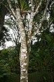 Syzygium jambos 12zz.jpg