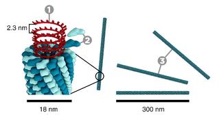 Как выглядит вирус табачной мозаики
