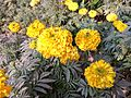 Tagetes patula(yellow) in bd 03.jpg